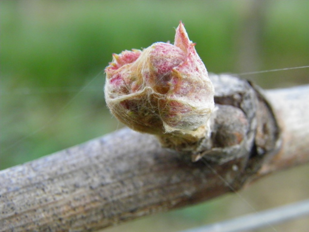 Le débourrement du bourgeon de vigne