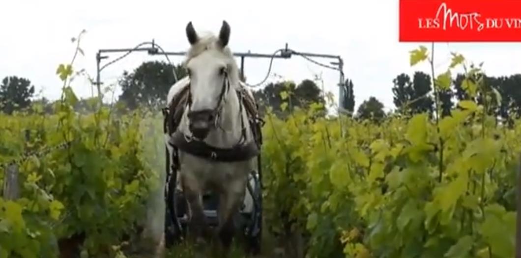 Le cheval dans les vignes pour la protection phytosanitaire-Copyright N.Couraud