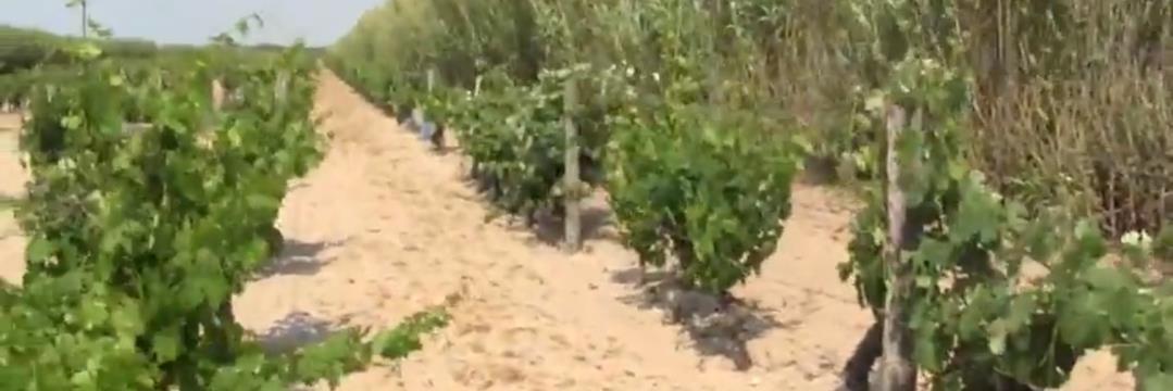 Des vignes plantées dans le sable