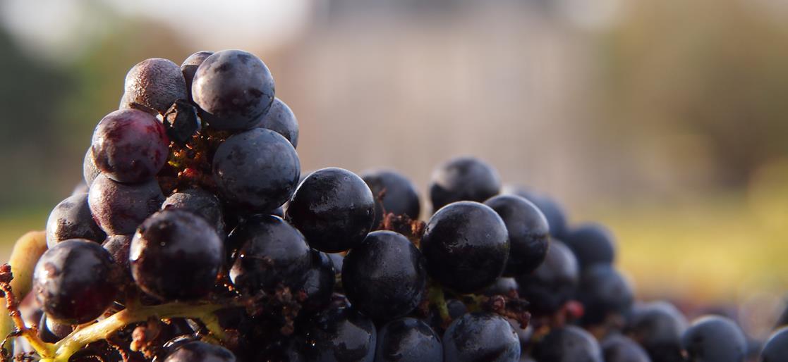 Récolte de vin en baisse