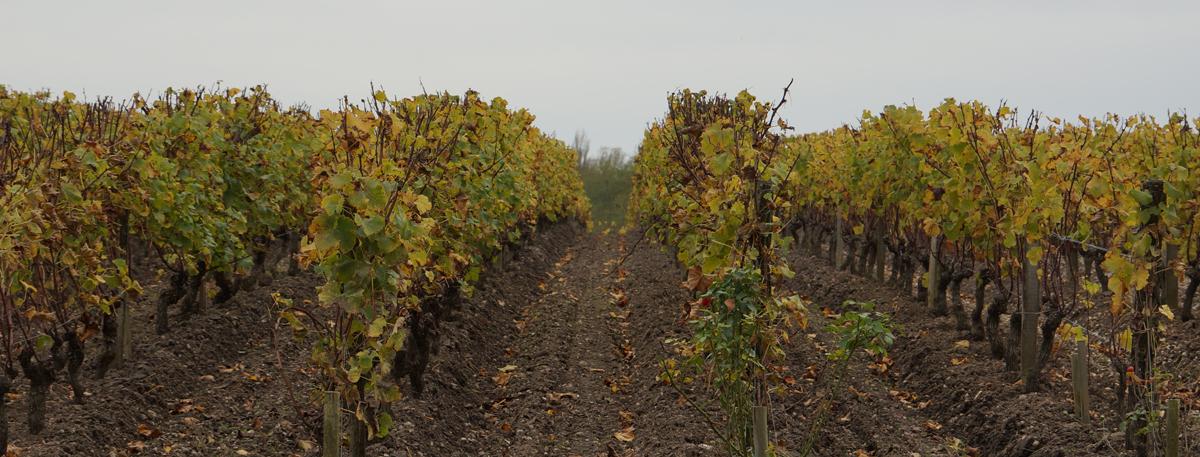 Les vignes du Sauternais