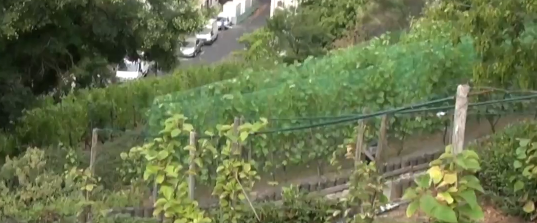 Vigne de la Butte Bergeyre