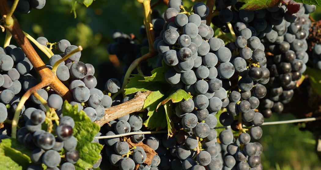 Réchauffement climatique, vignes et raisins