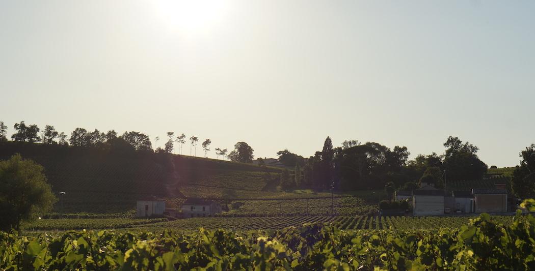 Vignes sous le soleil