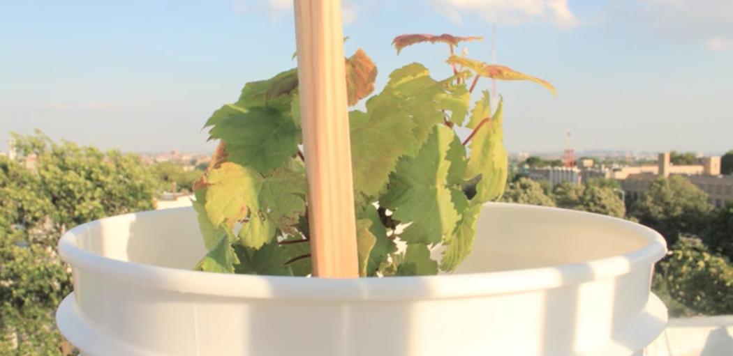 Un vignoble sur les toits de New York