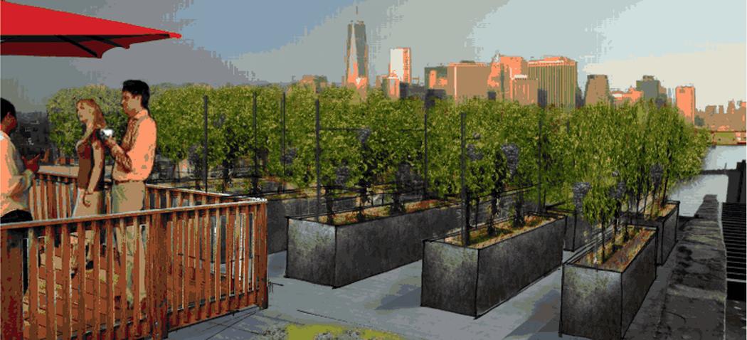 Des vignes sur les toits de New York