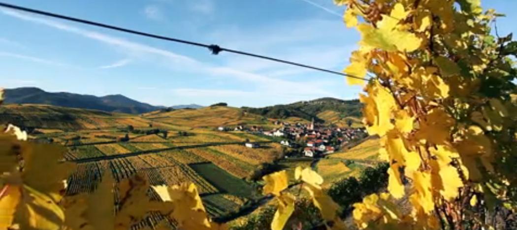 livevendanges : Vendanges en live en Alsace