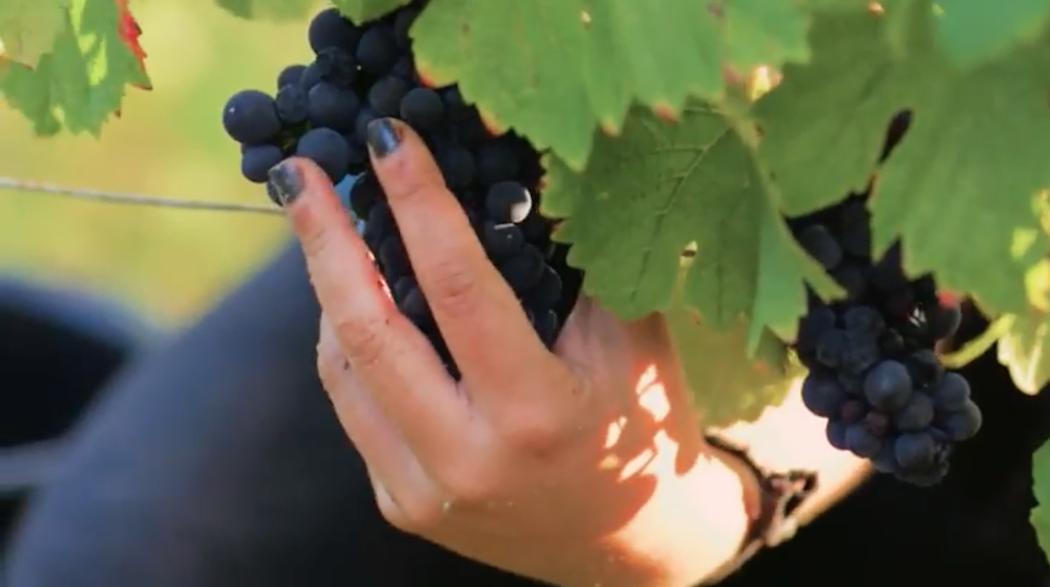Vendanges millésime 2016 en Bourgogne